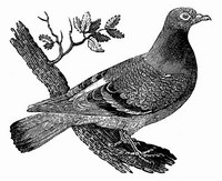 Gibier - Pigeon